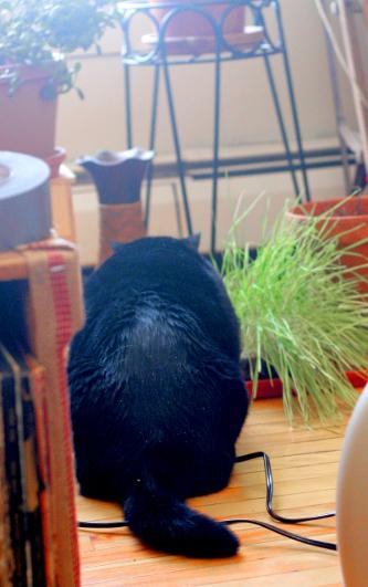 Coop cat grass